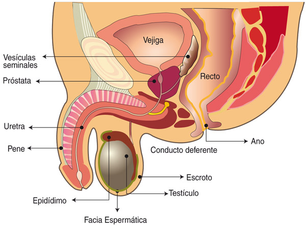 prostata inflamada y problemas de erección